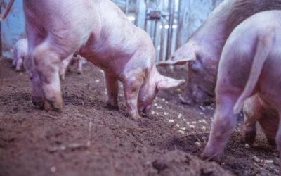 """A vida é boa na fazenda """"The Family Pig"""""""