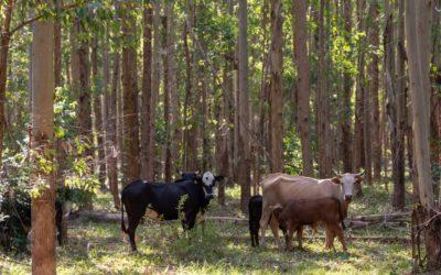 Integração pecuária e cultivo florestal aumenta produtividade