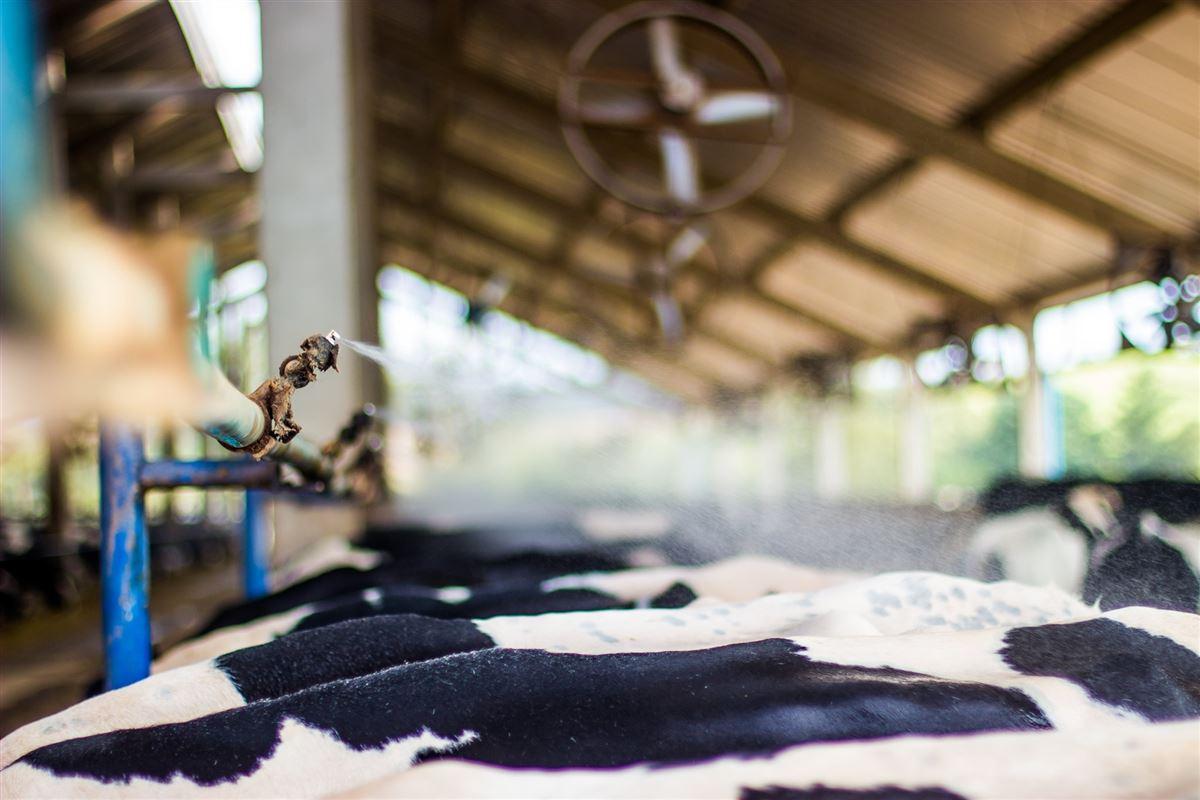 Fatores que afetam o combate ao estresse térmico nas fazendas leiteiras