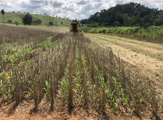 Sistema Antecipe da Embrapa permite semear o milho nas entrelinhas da soja