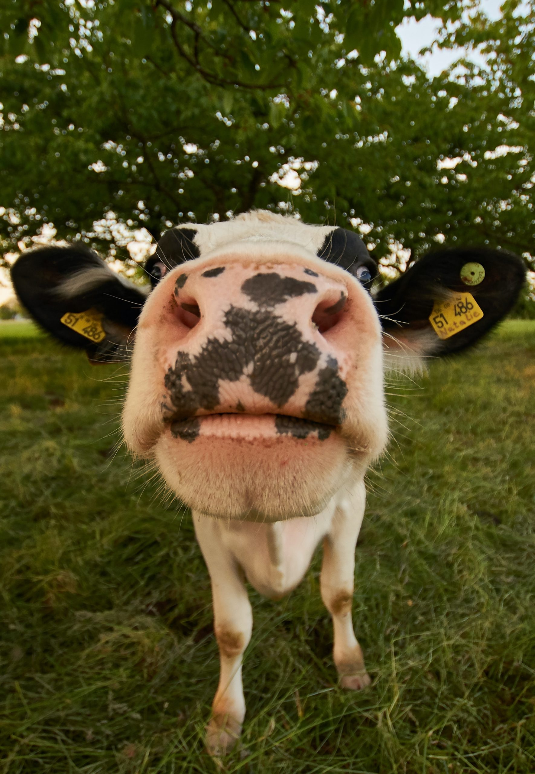 Biometria animal: tecnologia rastreia e monitora a cadeia da pecuária bovina pelo focinho