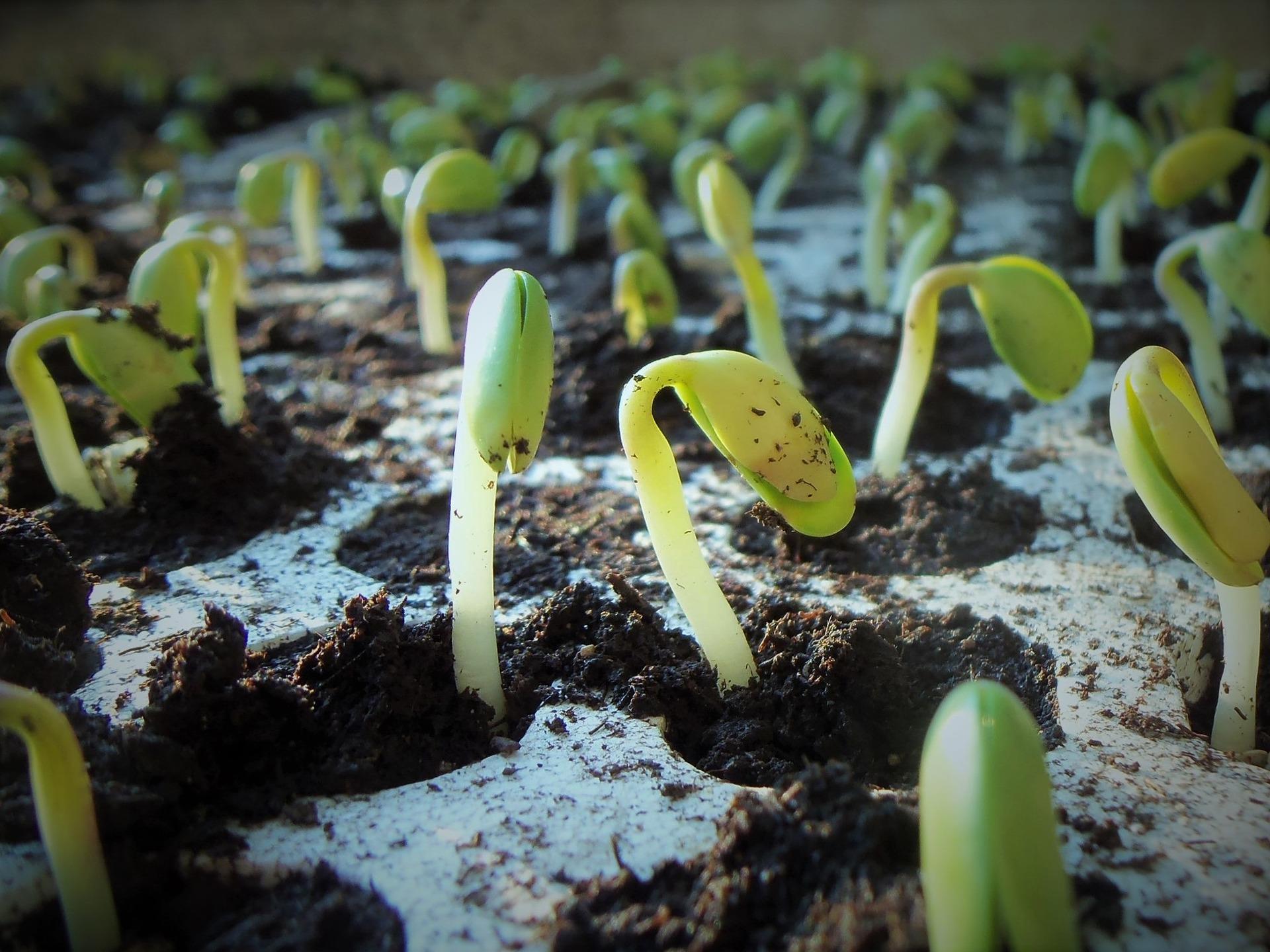 Inteligência artificial ajuda a identificar sementes que melhor germinam